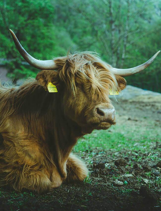 mucca-andrea-ciotti